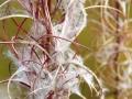 Fireweed in the Fall