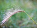 Feather Grass turning in Fall